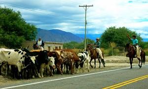 Argentinien | Gauchos bei Cafayate auf dem Pferd eine Herde Kühe antreibend