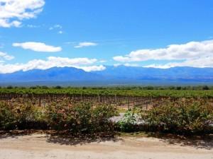 Argentinien | Die Weinregion um Cafayate. Blick auf die Weinreben bei blauem Himmel
