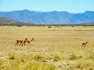 Argentinien | Vicunas auf der Straße von der Salzwüste Salinas Grandes nach San Antonio de los Cobres