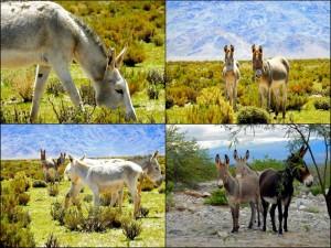 Argentinien | Esel auf der Strecke von den Salinas Grandes nach San Antonio de los Cobres. Collage verschiedener grauer Esel