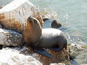 Chile | Seelöwen im Hafen von Arica