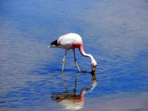 Chile | Atacama Wüste, Flamingo in der Chaxa Lagune, Lagunas Chaxas mitten in der Atacamawüste, Salar de Atacama