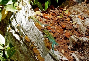 Chile | Temuco, Geckos im Conguillio National Park