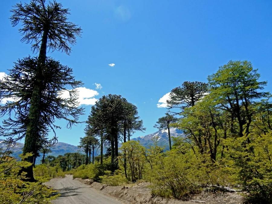 Chile | Temuco, Sierra Nevada Trail im Conguillio National Park. Panorama auf Araukarien Bäume und schneebedeckte Vulkanlandschaft im Hintergrund