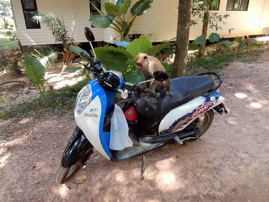 Thailand | Freche Affen im Mu Ko Lanta National Park. Ein Affe sitzt auf unserem Roller mir der Hand am lenker