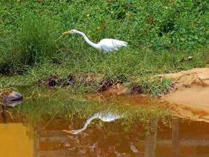 Brasilien | Ilha Grande, Ein Silberreiher auf der Jagd, sein Profil spiegelt sich im Tümpel