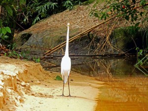 Brasilien | Ilha Grande, Ein Silberreiher macht sich dünn sodass sein Kopf schmaler als sein Hals ist