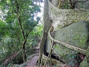 Brasilien | Ilha Grande, Wanderweg durchs Inselinnere mit riesiger verschlungener Urwald-Baumwurzel