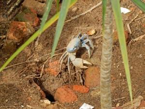 Brasilien | Ilha Grande, Blaue Krabbe im Sand