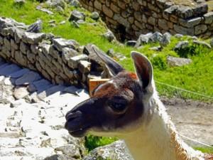 Peru | Machu Picchu, Glückliches Lama der Inka-Stadt. Der Kopf eines Lama in Nahaufnahme