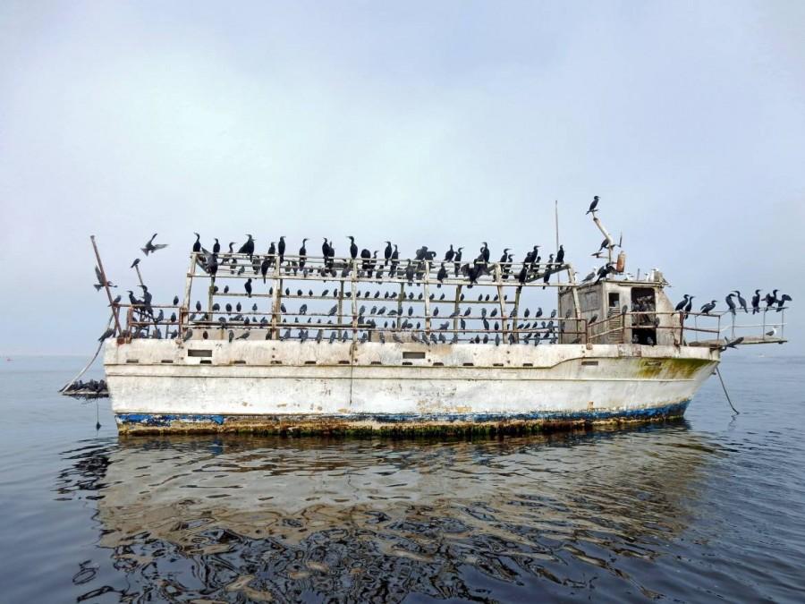 Peru | Paracas, Islas Ballestas Tour, Schiffswrack besetzt von Kormoranen, Perutölpeln und anderen Seevögeln. Blick auf ein rostiges altes Wrack mitten im Wasser