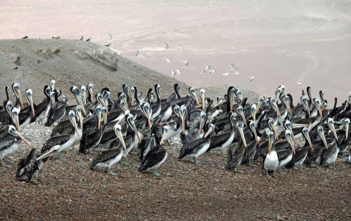Paracas Nationalpark | Islas Ballestas Tour, Zahlreich und schön, die Pelikane von Paracas