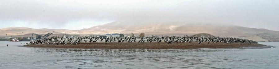 Peru | Paracas, Islas Ballestas Tour, Pelikane und Kormorane. Blick auf unzählige Tiere, die wie eine Kolonie auf einer kleinen Sandbank stehen