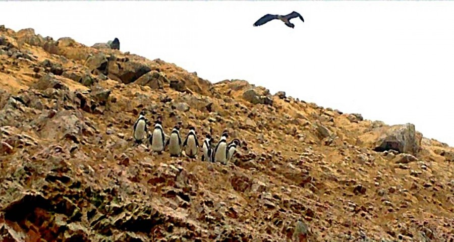 Peru | Paracas, Islas Ballestas Tour, Bitte lächeln: Ein mal schön fürs Foto aufgestellt: die ca. 60 cm kleinen Humboldt-Pinguine. Blick auf 7 eng aneinander stehende Pinguine, kreisende Geier darüber