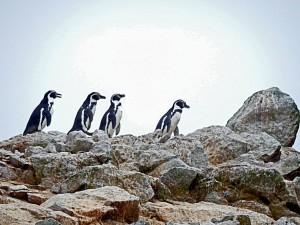 Paracas Nationalpark | Islas Ballestas Tour, Humboldt-Pinguine beim Spaziergang. Nahaufnahme von vier Pinguinen die auf den Felsen spazieren gehen