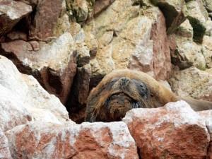 Paracas Nationalpark | Islas Ballestas Tour, der Opa unter den Seelöwen. Ein alter Seelöwe liegt gemütlich auf einem Felsen
