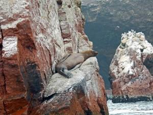 Paracas Nationalpark | Islas Ballestas Tour, schlafender Seelöwe auf einem Felsvorsprung