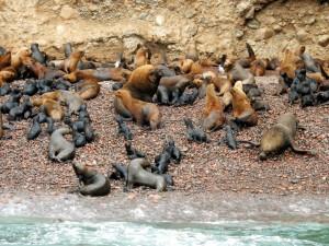 Paracas Nationalpark | Islas Ballestas Tour, Erste Gehversuche unter der Aufsicht der Eltern. Kleine Seelöwen-Babys versuchen zu watscheln