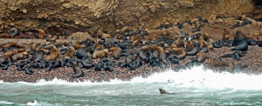Peru | Paracas, Islas Ballestas Tour, Seelöwen-Babys mit ihren Eltern am Playa de Maternidad, dem Mutterschaftsstrand. Panorama auf die Bucht und einige schwimmenden Seelöwen