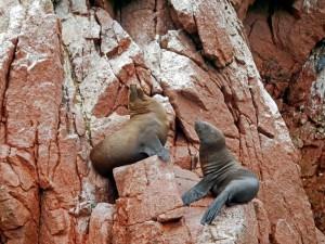Paracas Nationalpark | Islas Ballestas Tour, Seelöwen-Pärchen