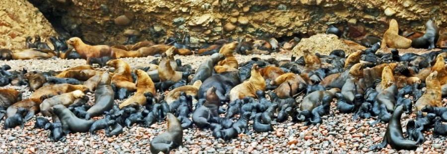 Peru | Paracas, Islas Ballestas Tour, Seelöwen und ihre Babys, die man Mitte März beobachten kann. Panorama auf unzählige riesige Seelöwen mit ihren kleinen schwarzen Baby-Seelöwen in einer Bucht gelegen