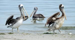 Peru | Die Pelikane von Paracas. Drei große Pelikane in Nahaufnahme, einem fehlt ein Flügel