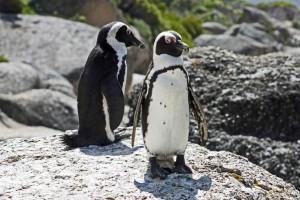 Südafrika | Kap-Halbinsel, Simons Town, Boulders Beach, Pinguin-Paar