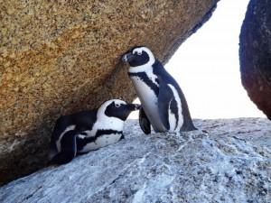 Südafrika | Kap-Halbinsel, Simons Town, Boulders Beach, Pinguine Paar in love. Zwi weiß-schwarze Pinguine in Nahaufnahme versteckt hinter Felsen