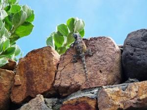 Südafrika | Kapstadt, Kap-Halbinsel, Gecko im Cape Point National Park