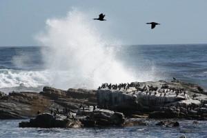 Südafrika | Kapstadt, Kap-Halbinsel, Kormorane am Kap der Guten Hoffnung