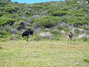 Südafrika | Kapstadt, Kap-Halbinsel, Straußen-Paar in der Nähe des Kap der Guten Hoffnung im National Par