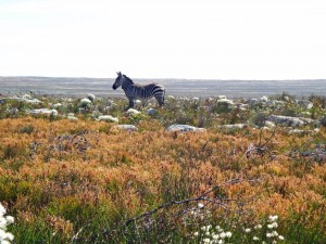 Südafrika | Kapstadt, Kap-Halbinsel, Zebra im Cape Point National Park