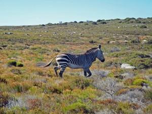 Südafrika | Kapstadt, Kap-Halbinsel, Zebra am Kap der Guten Hoffnung