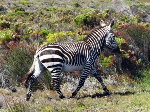 Südafrika | Kapstadt, Kap-Halbinsel, Zebra im Cape Point National Park in Nahaufnahme