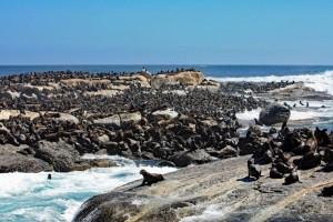 Südafrika | Kapstadt, Kap-Halbinsel, Hout Bay, Seehund-Kolonie von Seal Island | Duiker Island