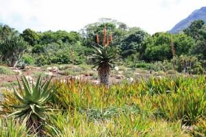 Südafrika | Kapstadt, Oase der Ruhe im Kirstenbosch Botanischen Garten, Blick auf einige Palmen