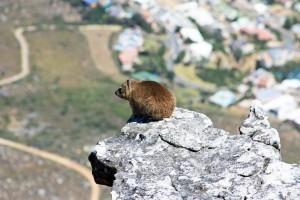 Südafrika | Kapstadt, Klippschliefer auf dem Tafelberg. Nahaufnahme des Tieres das eine Art Dachs ist