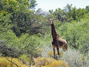 Südafrika | Auf der Suche nach den BIG 5 im Inverdoorn Game Reserve entdecken wir eine Giraffe. Nahaufnahme der Giraffe vor grünem Gestrüpp