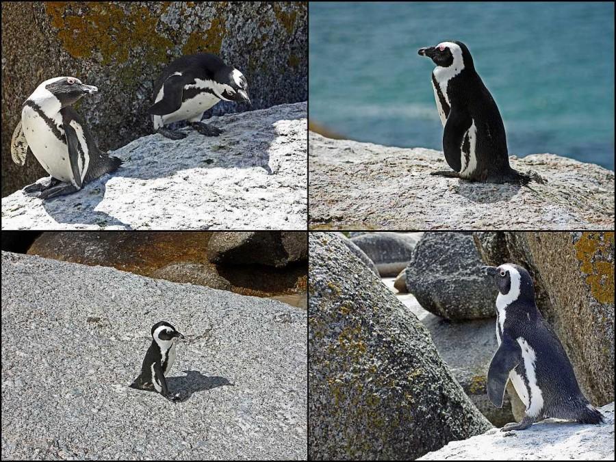 Südafrika | Kapstadt, Eindrücke der Pinguine am Boulders Beach bei Simons Town