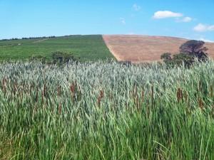 Südafrika | Kapstadt, Weinregion Stellenbosch Panoramaausblick bei einer Wanderung durch die Weinanbau-Gebiete. Schilf im Vordergrund und hügelige Felder bei blauem Himmel