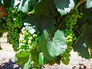 Südafrika | Kapstadt, Weinregion Stellenbosch Weißwein-Trauben in Nahaufnahme