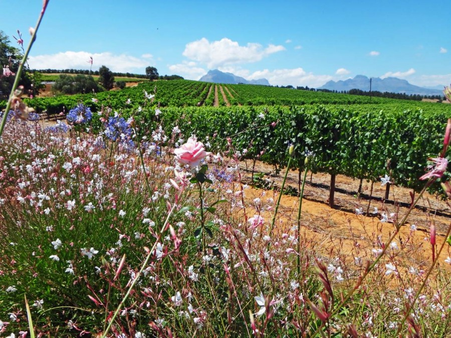Südafrika | Kapstadt, Weinregion Stellenbosch Panorama auf die Weinreben bei einer Wanderung. Sattgrüne Weinreben bei blauem Himmel