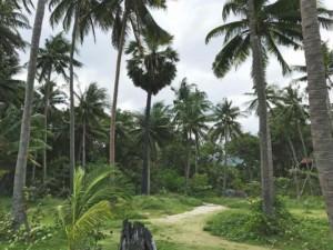 Thailand |Koh Phangan, Palmenhain auf dem Weg zum Nationalpark-Strand Haad Than Sadet