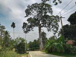 Thailand |Der große Yang Tree ist eine wahre Sehenswürdigkeit auf Koh Phangan geworden. Blick auf den größten Baum der Insel