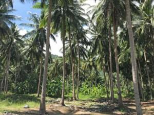Thailand |Palmen gibt es zahlreich auf Koh Samui, hier im Inland auf dem Short Cut von Chewang nach Maenam