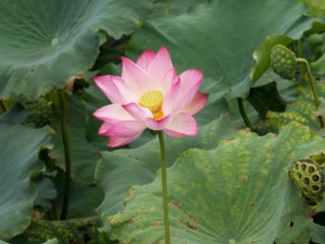 Tipps: Im August blüht der Lotus am Westsee in Hangzhou. Rosafarbene Blüte mit gelben Stempel und grünen Blättern