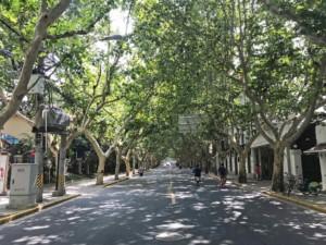 Typische Ahornalleen im Stadtteil French Concession in Shanghai