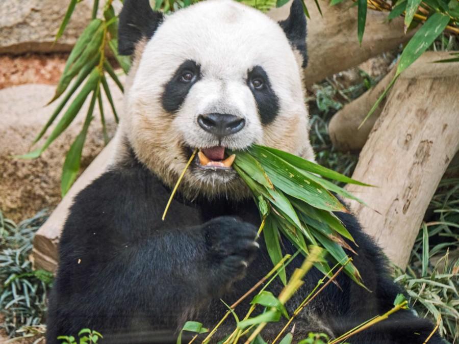 China Top-Reiseziele: Chengdu gilt mit seiner Aufzuchtstation als Stadt der Pandas