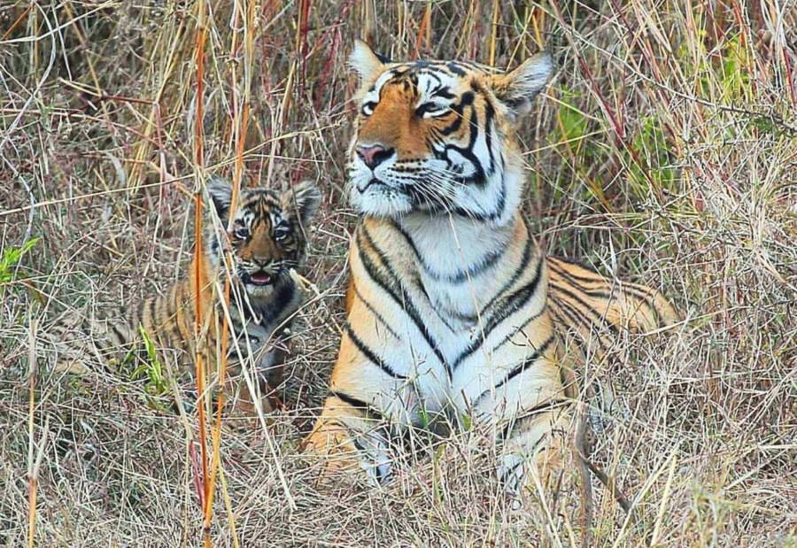 Bengal-Tiger (Königstiger) mit Jungem im Ranthambore Nationalpark im hohen Gras