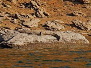 Krokodil im Chambal National Park bei einer Fluss Safari